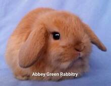 Mini Lop Rabbit Baby - Purebred, Gorgeous Choc Tort Girl Joondalup Joondalup Area Preview
