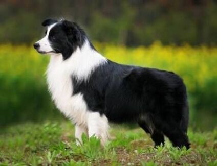 LOOKING FOR PUREBRED FEMALE BORDER COLLIE PUPPY FOR $200 Frankston South Frankston Area Preview