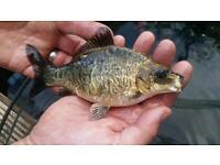 Mirror carp ghost koi live pond fish