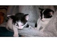 Beautiful Black & White Kittens