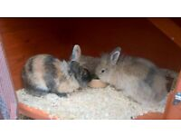 2 x Lion Head Rabbits