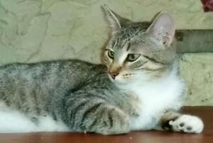 "Young Female Cat - Domestic Short Hair: ""Vernie"""