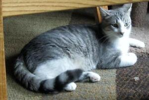 """Young Male Cat - Tabby - Grey-Tuxedo: """"Charles Cedric"""""""