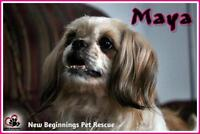"Senior Female Dog - Shih Tzu: ""Maya"""