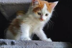"Baby Male Cat - Domestic Short Hair (Orange & White): ""Thor"""
