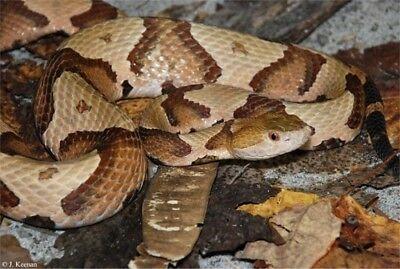 Southern Copperhead Emergency Venomous Bite Protocol Snakebite Treatment Snakes