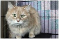Adult Female  - Domestic Medium Hair - buff and white