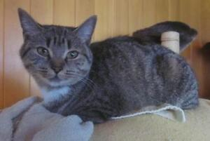 """Young Female Cat - Tabby (Brown): """"Fiona"""""""