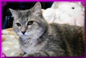"Adult Female Cat - Domestic Short Hair: ""Lily"""