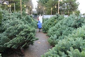 CHRISTMAS TREES FOR SALE. &.DELIVERY North Shore Greater Vancouver Area image 5