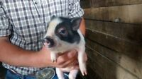 2 Cute pop belly piglets for sale