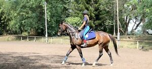 Showy Thoroughbred Mare for Sale Roadvale Ipswich South Preview