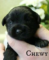 "Baby Male Dog - Labrador Retriever-Terrier: ""Chewy"""
