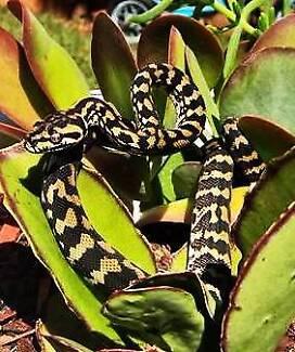 Jungle Python Hatchlings