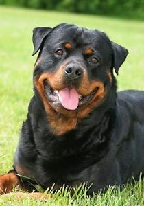 wanted: rottweiler or german shapard