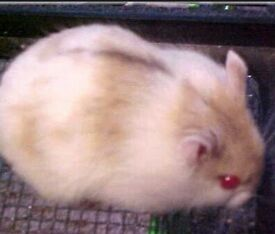 Russian dwarf hamster with cage