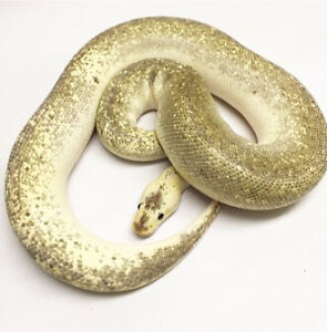 Proven breeder adult  ball pythons