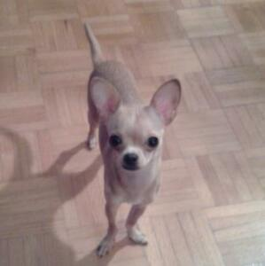 Chihuahua femelle pure race