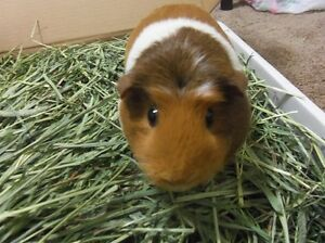 Baled hay/straw & pine shavings delivered 4 your small animals Stratford Kitchener Area image 2
