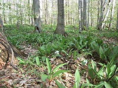 Wild leeks - Can still be seen today in Wales and Ireland.