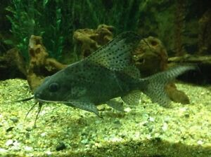 Featherfin Synodontis Squeaker Catfish Two Wells Mallala Area Preview