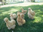 Silkie Hatching Eggs