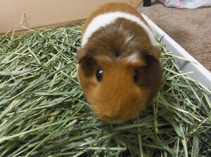 Baled hay, straw, pellet, shavings for yr small pets London Ontario image 2