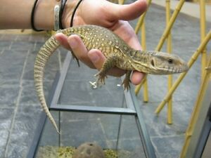 Young Savannah Monitors For Sale