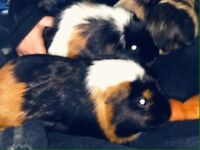 Free! Guineapigs & cages