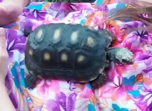 Female Red Footed Tortoise for sale / Healthy, Happy and Strong