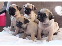 OUTSTANDING PUGGGIES FREE TO GOOD HOME