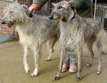 WANTED Wolfhound X Deerhound Franklin Huon Valley Preview