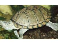 Experienced owner wanted for Razor Back Musk Turtle