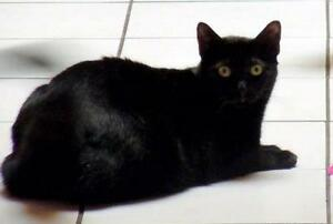 """Young Female Cat - Domestic Short Hair-black: """"Sophie"""""""
