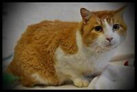 """Adult Male Cat - Domestic Short Hair - orange and white: """"Riggs"""""""