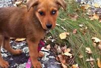 "Baby Male Dog - Shepherd: ""Flynn"""