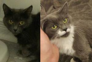 "Adult Female Cat - Domestic Short Hair: ""Liv and Maddy"""