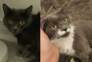 """Adult Female Cat - Domestic Short Hair: """"Liv and Maddy"""""""