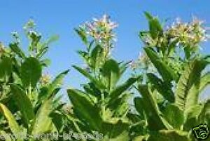 TOBACCO SEEDS - GROW YOUR OWN CIGS