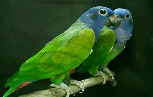 Pair of parrot Blue head pionus