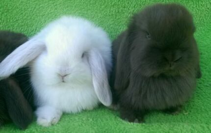 CHOCOLATE,FROST POINT,CHICNCHILLA PUREBREED QUALITY CARE MINI LOP Londonderry Penrith Area Preview