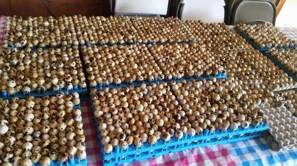 110+ Jumbo brown coturnix quail hatching eggs ***NPIP**(Please read description)