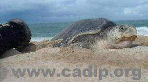 Turtle conservation in Mexico. Join now!