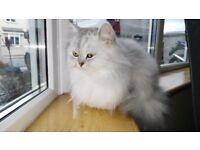 Chinchilla Persian Cat - Female