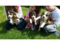 Beagle puppy CUTE