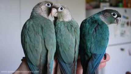 Handraised Green-cheek Conures
