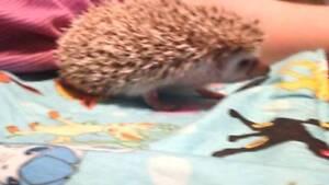 Hedgehog Rehoming -150