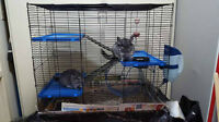 Rehoming Two Chinchillas with Everything ASAP