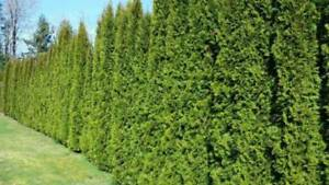 Emerald Cedar Trees | Privacy | Smaragd