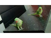 alexandrine parrots pair for sale with cage